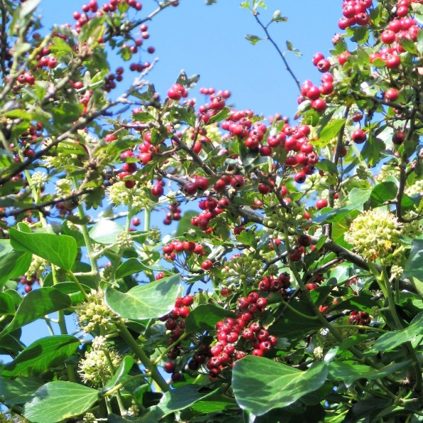 brght red hawthorn berries against a blue sky