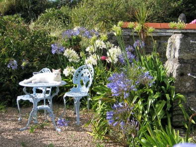 August - Bold Agapanthus blooms soften the gravel terraces