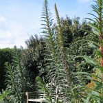 Tall echium spires in teh May garden at Ednovean Farm