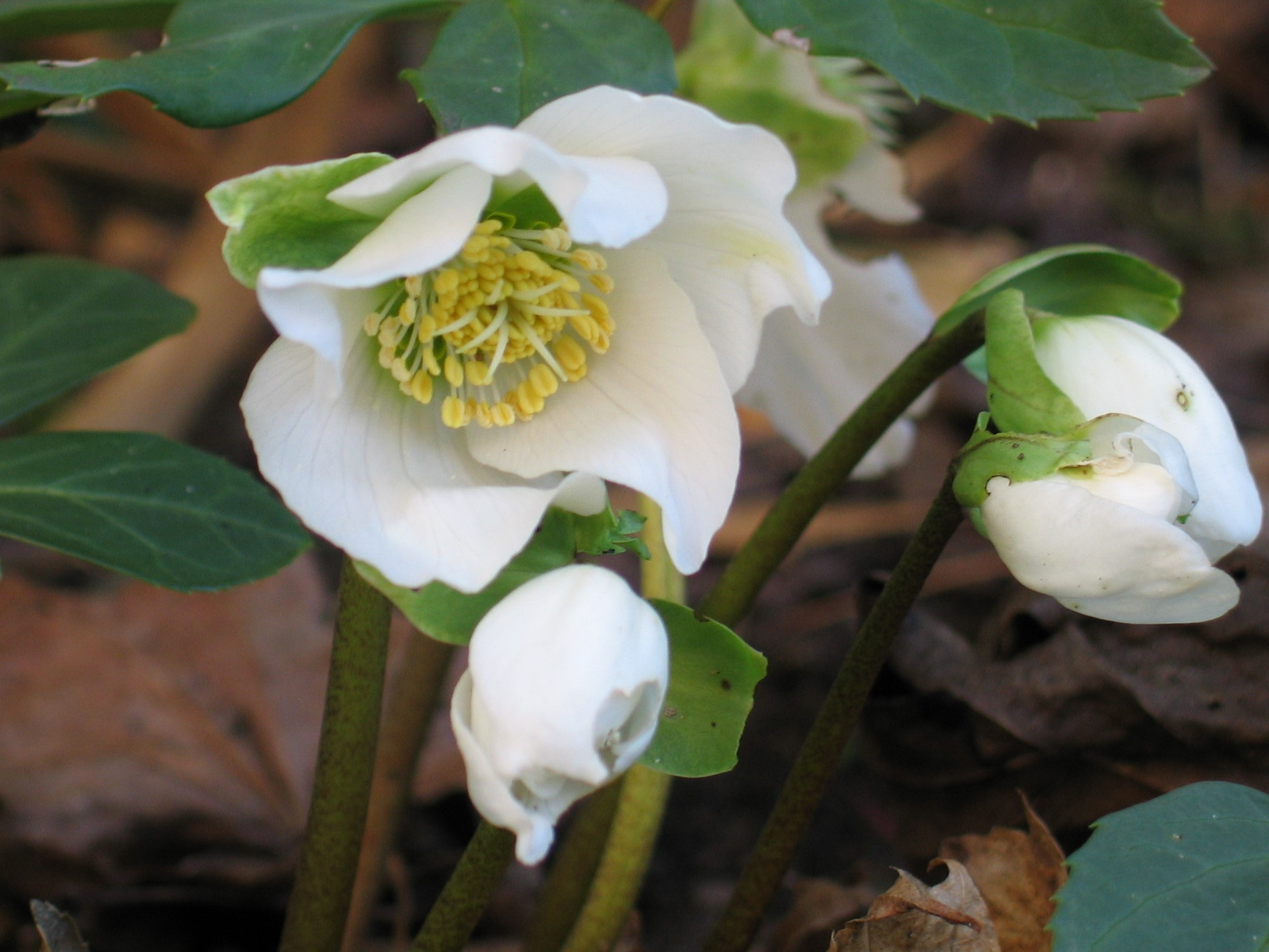 white hellebore in january