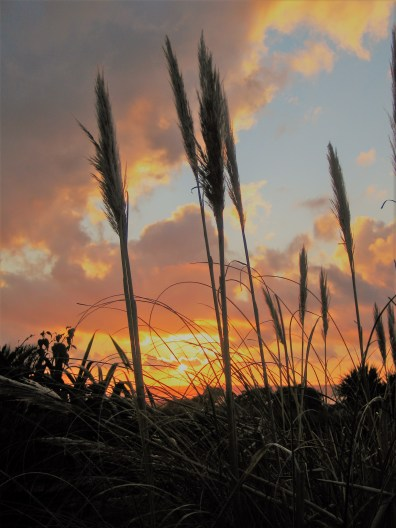 Pampass seeds against a winter sunset - garden diary