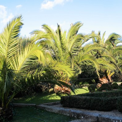 Date Palms in winter - Ednovean Farm's sub tropical garden
