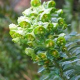 Euphorbia with lime green flowers
