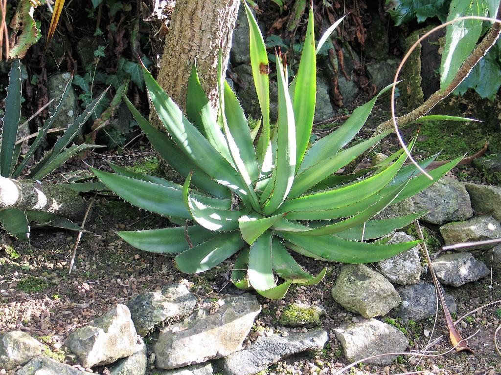 Agave in dry gravel bed - january garden