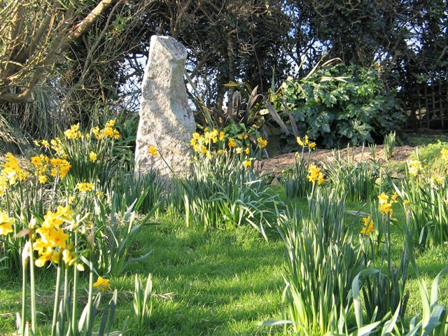Spring daffodils before the snow