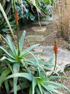 spinosissima aloe besdie a gravel path - January garden