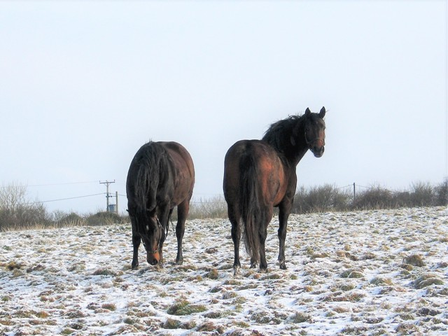 Two bay mares in a snowy field - minibeast from the east