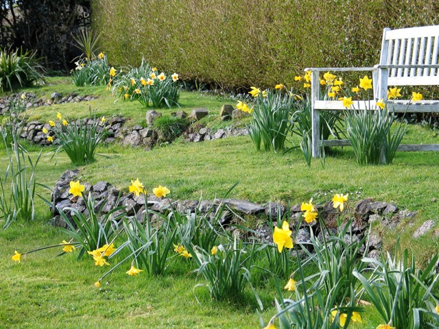 Spring daffodils are perfect for an early easter - garden walk at Ednovean Farm