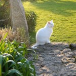 White cat watching for springs golden days