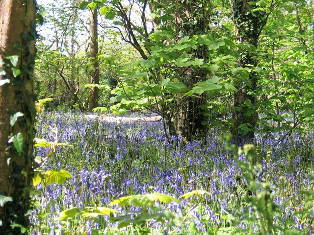 Drifts of Bluebells under the lush green leaves of the woodland in spring at Godolphin woods
