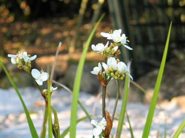 Libertia-Grandiflora makes an airy path edging