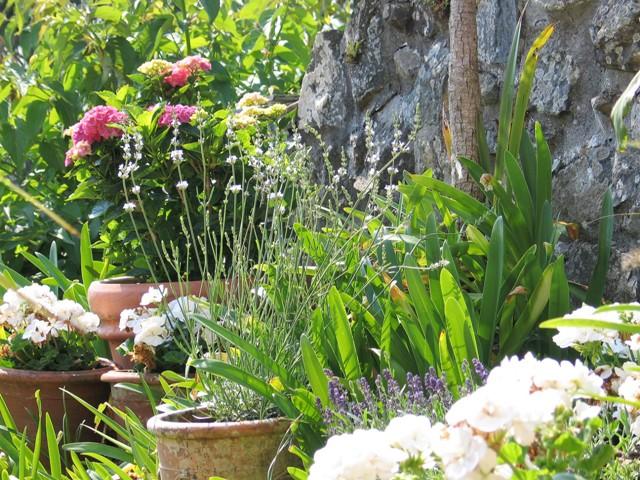 Geraniums, lavenders Hydrangeas in terracotta pots