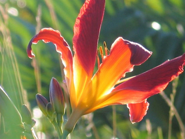 Red Day lillies - sizzling summer colours