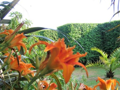 Formal hedge and Day lillies