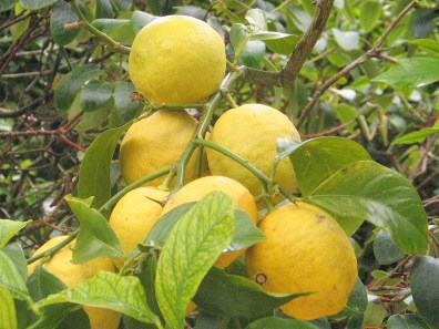 Lemons growing outside