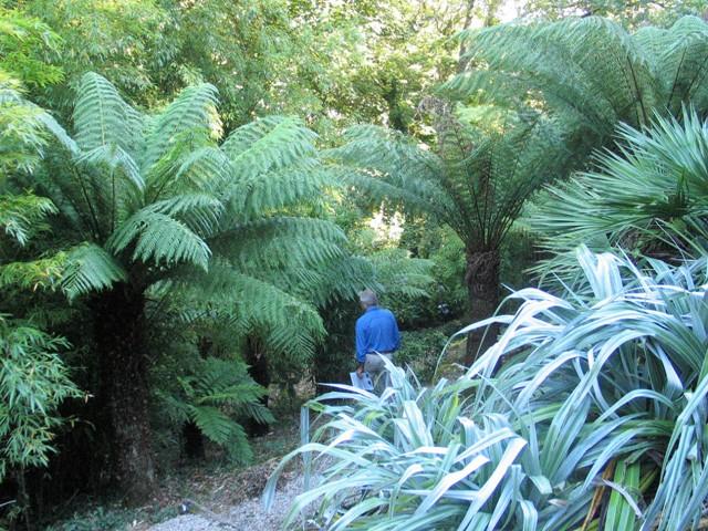 Magnificent Tree Ferns dwarfing a male figure