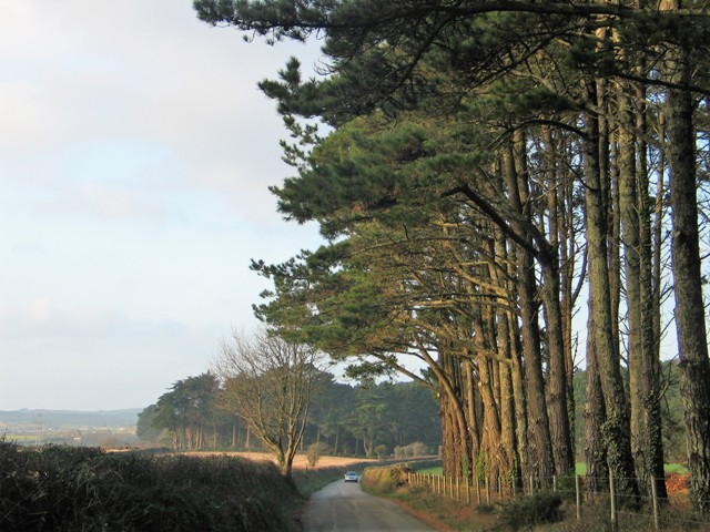 Autumn lane in cornwall tall firs and autumn landscape