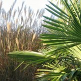 Palm and Miscanthus leaves - autumn
