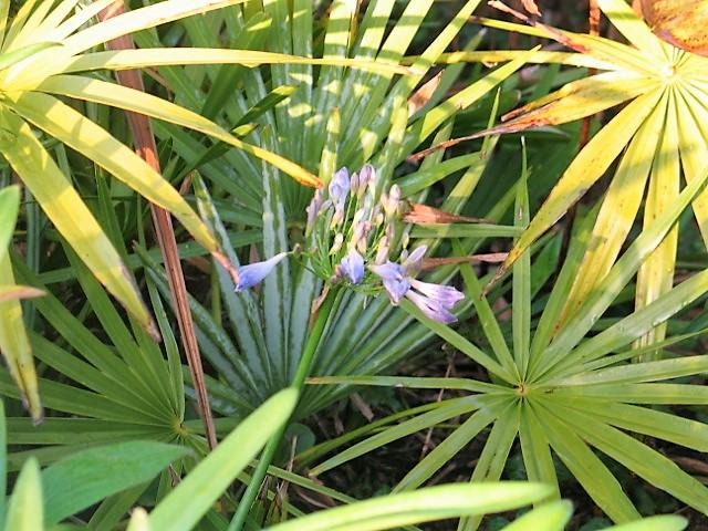 January - agapanthus coming into flower