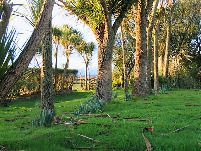 January's low evening sun on the palm trunks