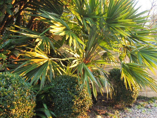 Formal box backed by Chamaerops humilis