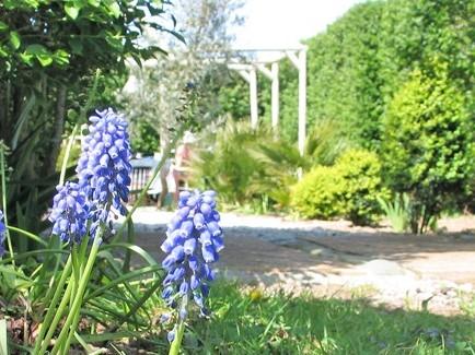 Blue Miscari besdie a grden entrance spring garden at Ednovean farm