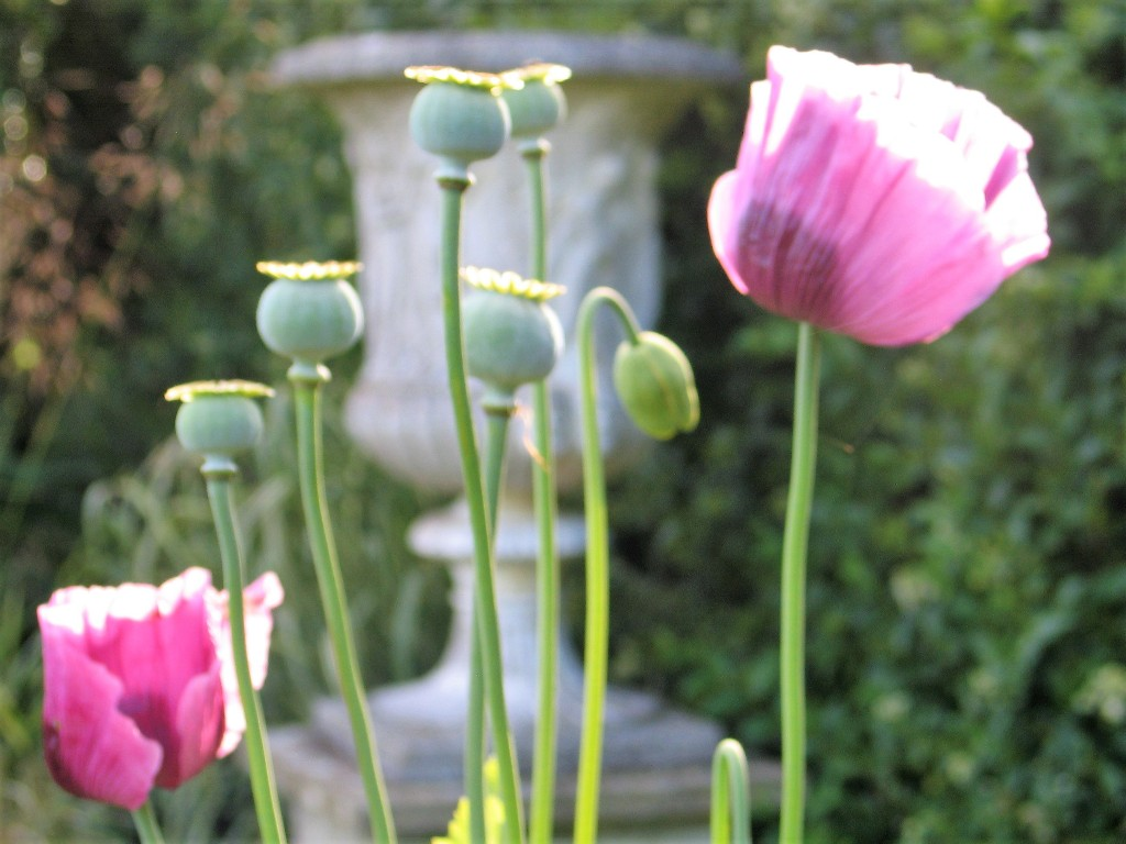 Fading poppies - season changes