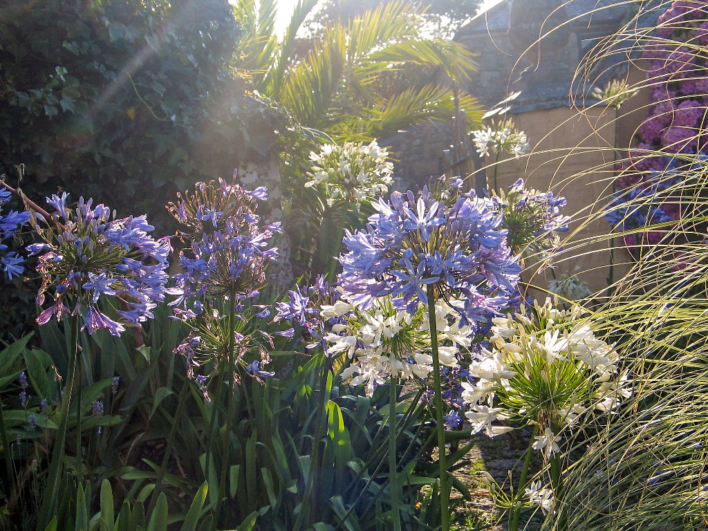 Agapanthus in teh July garden
