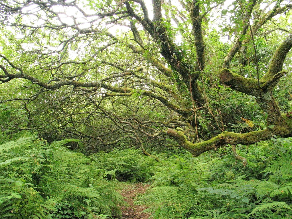 Mossy trees in ancient slow growing woodland give atmosphere to the Ancient scheduled monument at Madron