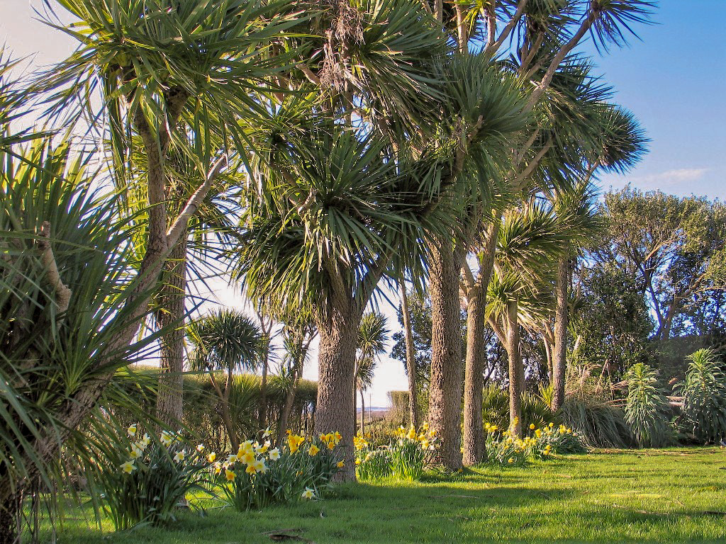 A Cordyline avenue underplanted with casual arrangement of spring daffodils help the spring garden to melt into the surrounding countryside