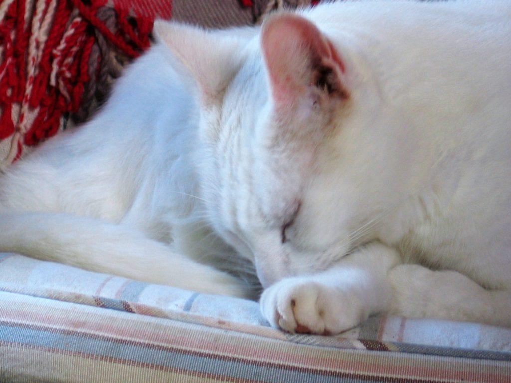 Hospitality cat - Spud of Ednovean Farm