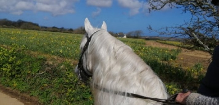 Silver white stallion beside daffodil field