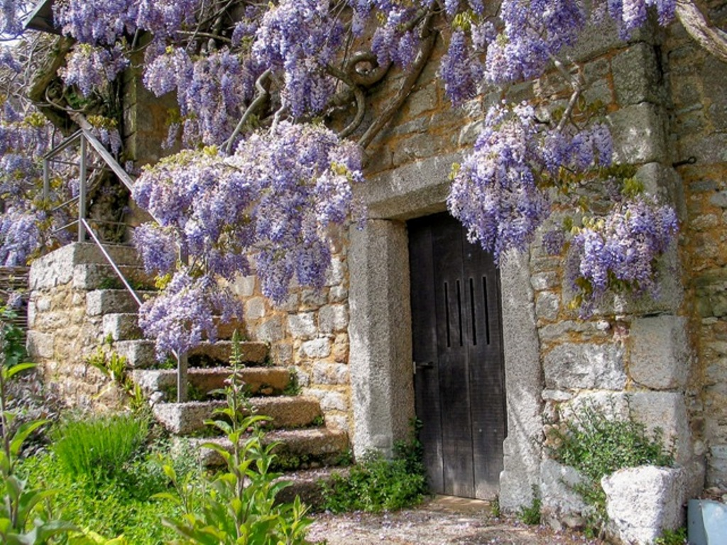 Dreaming of Wisteria in flower