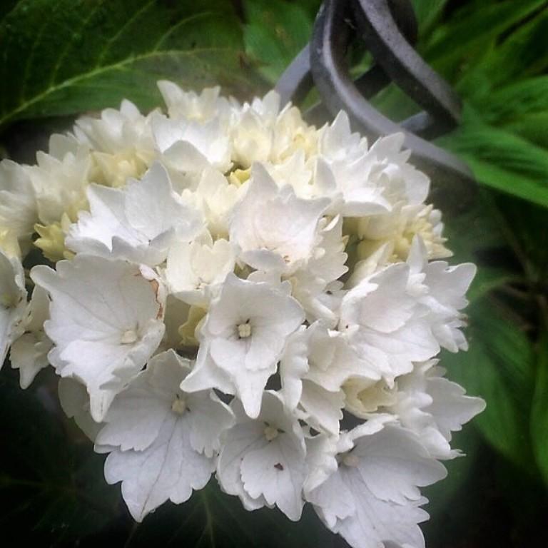 Atmospheric garden - hydrangea and bespoke iron work