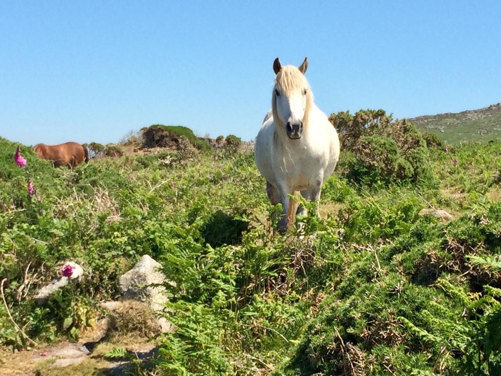 Conservation grazing on teh National Trust heathland