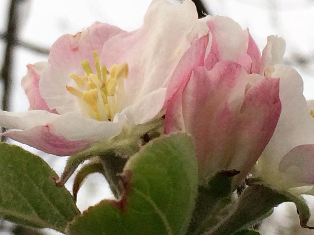 Apple blossom on vintage west country apple tree