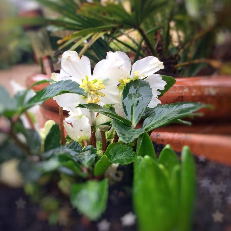 Winter flowers - hellebore and crocus