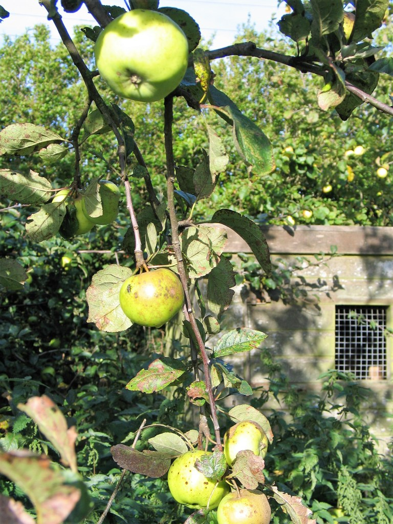 Apple harvest - from ancient custom of wassailing to crop