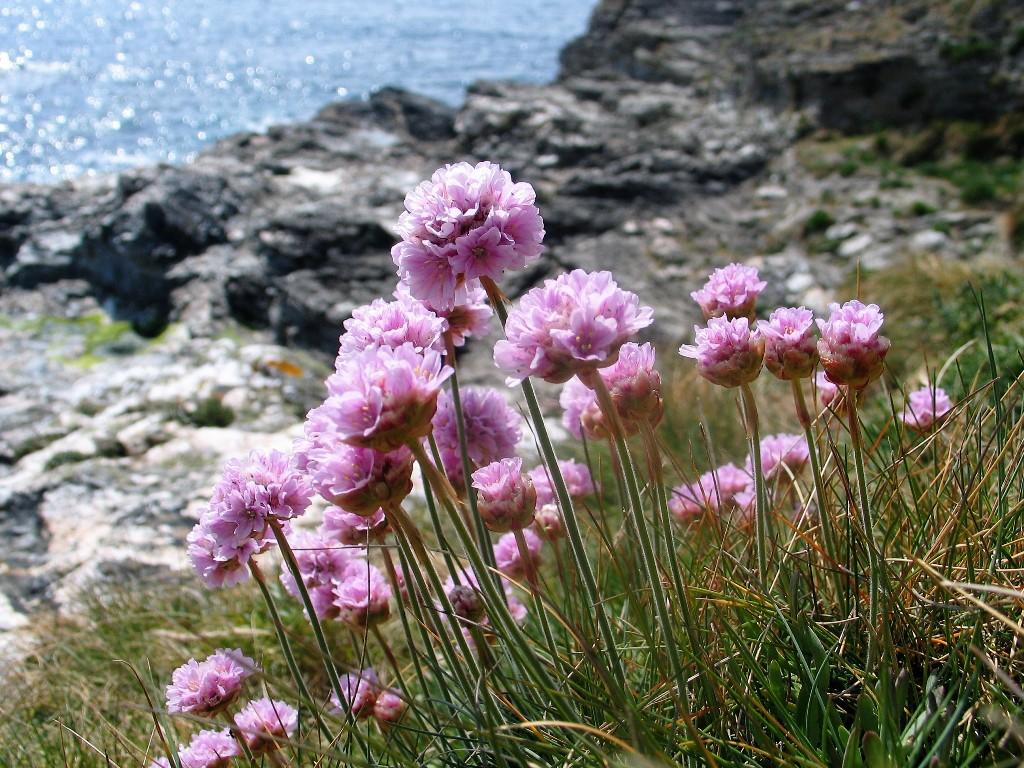 Cornish cliffs in spring - pink sea thrift