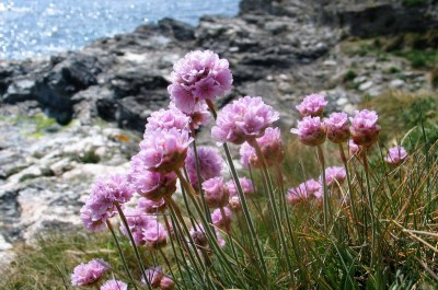 Spring sea thrift on the Cornish cliffs