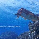 コブシメ、甲イカです、産卵時で近くで観察できます!