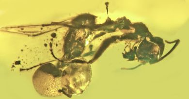 Ant trapped in ancient amber with parasitic mushroom stuck in its butt
