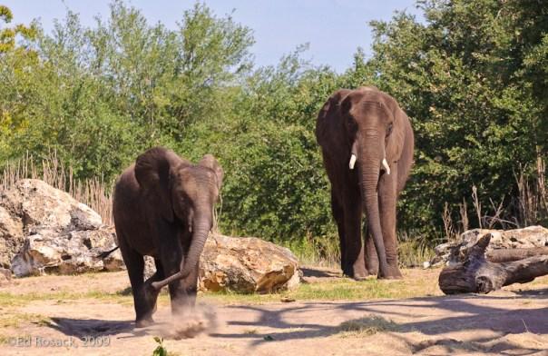 Elephants - dusty steps