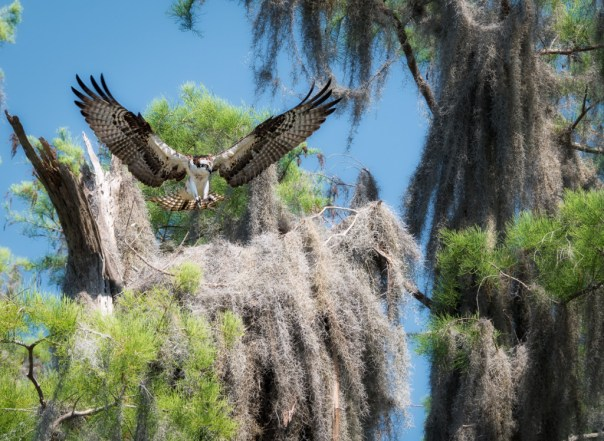 Osprey returning to nest