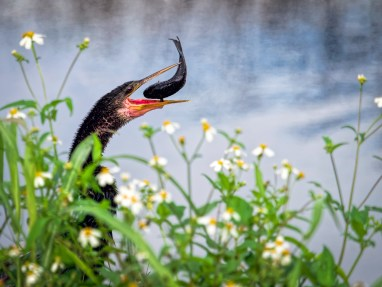 Anhinga with a nice catch!