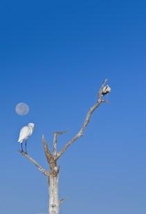 Great Egret, Ibis, and Moon (vertical crop)