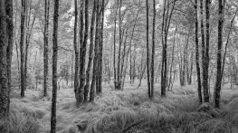 Paper Birch and sedge grass forest: Acadia National Park