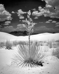 Soaptree Yucca plant, White Sands National Monument