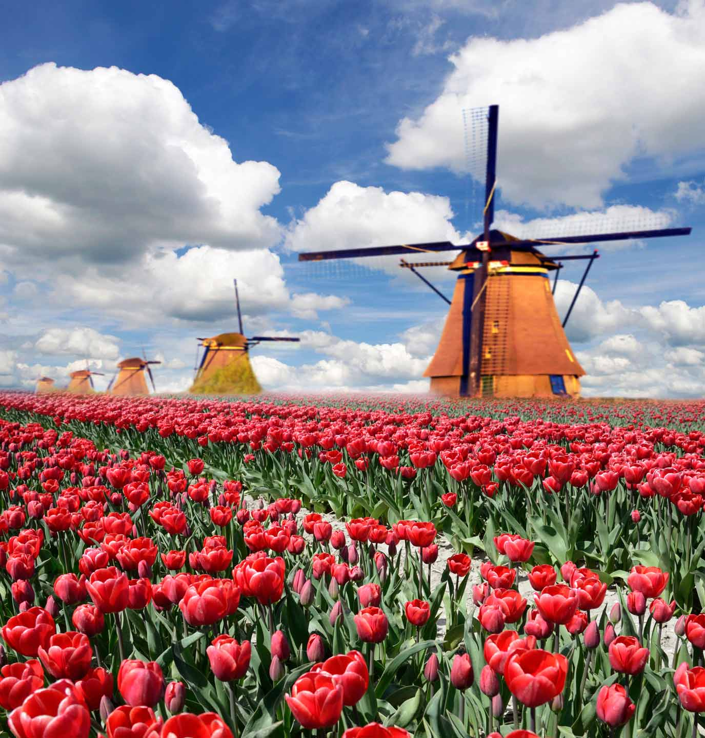 Tulpenblte Holland mit Blumencorso  Edtbrustner Reisen