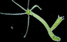 Transcriptomics and genomics of stress on hydra